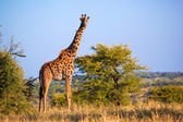 Giraffe on savanna. Safari in Serengeti, Tanzania, Africa — Foto Stock