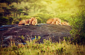 Lions on rocks on savanna at sunset. Safari in Serengeti, Tanzania, Africa — Foto Stock