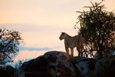 Female lion at sunset. Serengeti, Tanzania — Stock Photo
