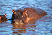 Hippo, hippopotamus in river. Serengeti, Tanzania, Africa — Stock Photo