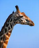 Giraffe portrait close-up. Safari in Serengeti, Tanzania, Africa — Stock Photo