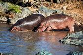 Hippo, hippopotamus in river. Serengeti, Tanzania, Africa — Stock Photo