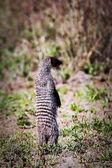 Mongoose standing. Safari in Serengeti, Tanzania, Africa — Stock Photo
