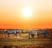Zebras herd on African savanna at sunset. — Stock Photo
