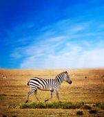 Zebra on African savanna. — Stock Photo