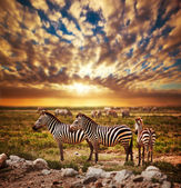 Zebras herd on African savanna at sunset. — Zdjęcie stockowe