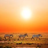 Mandria di zebre sulla savana africana al tramonto. — Foto Stock