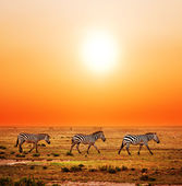 Zebras herd on African savanna at sunset. — Foto Stock