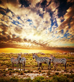 Zebras herd on African savanna at sunset. — Stok fotoğraf