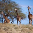 Giraffes on savanna. Safari in Amboseli, Kenya, Africa — Stock Photo