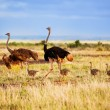 Ostrich family on savanna, Amboseli, Kenya — Stock Photo #20386465