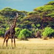 Giraffe on savanna. Safari in Amboseli, Kenya, Africa - Stock Photo