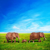 Elephants family on savanna. Safari in Amboseli, Kenya, Africa — Stockfoto