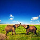 Elefanti giocando sulla savana. safari amboseli, kenya, africa — Foto Stock