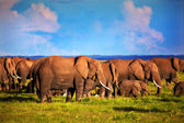 Elephants herd on savanna. Safari in Amboseli, Kenya, Africa — Foto Stock