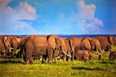 Mandria di elefanti sulla savana. safari amboseli, kenya, africa — Foto Stock