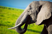 Elephant on savanna. Safari in Amboseli, Kenya, Africa — Stock Photo