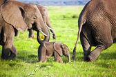 Famiglia di elefanti sulla savana. safari amboseli, kenya, africa — Foto Stock