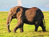 Elephant on savanna. Safari in Amboseli, Kenya, Africa — Stock Photo