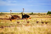 Ostrich family on savanna, Amboseli, Kenya — Stock Photo