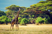 Giraffe on savanna. Safari in Amboseli, Kenya, Africa — Stock Photo