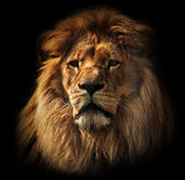 Lion portrait with rich mane on black — Stock Photo