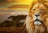 Lion portrait on savanna background and Mount Kilimanjaro — Stock Photo