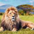 Big lion lying on savannah grass — Stock Photo