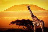 Giraffe on savanna. — Stock Photo
