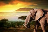 Elephant on savanna. — Stock Photo