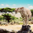 A wild cheetah about to attack — Stock Photo