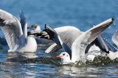 Möwen spielen im meer, abheben, schweben — Stockfoto
