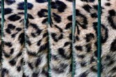 A big cat - bars in cage — Stock Photo