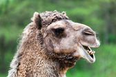 Bactrian camel portrait — Stock Photo