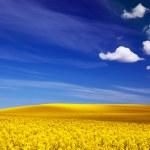 Spring field, landscape of yellow flowers, rape. — Stock Photo #48611753