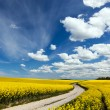 Country way on spring field of yellow flowers, rape. — Stock Photo #48611823
