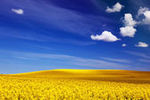 Spring field, landscape of yellow flowers, rape. — Stock Photo