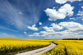 Country way on spring field of yellow flowers, rape. — Stock Photo