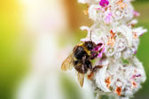 Bumble bee loading pollen on the flower — Stock Photo
