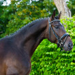 Stallion - breeder horse on green background — Stock Photo