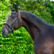 Portrait of a bay hannoverian German stallion - Stock Photo