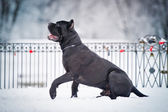 Black cane corso dog winter portrait — Stock Photo