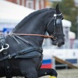 Black friesian horse carriage driving — Stock Photo