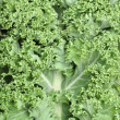 closeup of kale — Stock Photo
