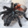 Stock Photo: Aviculariversicolor (Pinktoe tarantula)