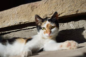Cute three color cat lies and watching — Stockfoto