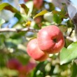 Two red apples on apple tree branch — Stock Photo #29845163