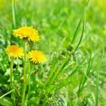 Art beautiful yellow spring dandelion flowers background — Stock Photo