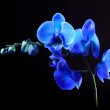 Blue orchid flower on black background — Stock Photo