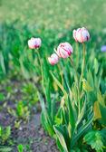 Groep van witte en roze tulpen. lente landschap. — Stockfoto